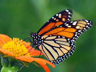 Papillon monarque sur une fleur, Valle de Bravo, Michoacan, Mexico et ses alentours au Mexique