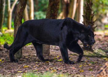Calakmul biosphère, jaguar noir, Yucatan, faune et flore, Mexique