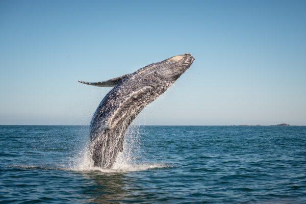 Baleine grise de Basse Californie, aventure en Baja, hors des sentiers battus, Mexique