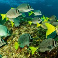 Fonds marins de Cabo Pulmo en Basse Californie au Mexique, poissons colorés