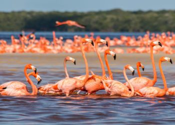 Réserve naturelle de Celestun, Yucatan, flamants rose, Mexique