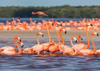 Réserve naturelle de Celestun, Yucatan, flamants rose, Mexique