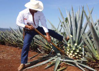 Tequila, production, Jalisco, la route des saveurs, Mexique