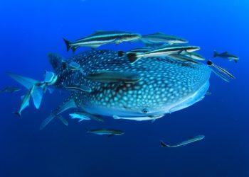 Requin Baleine, Isla Holbox et Basse Californie au Mexique